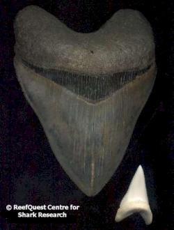 Dent megalodon / grand requin blanc